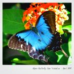 Postcards from elsewhere: Ulysses Butterfly